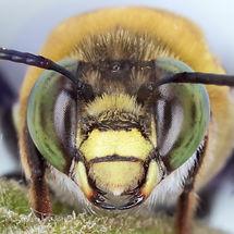 Face of a male Centris bee - (c) Copyright 2018 Paula Sharp