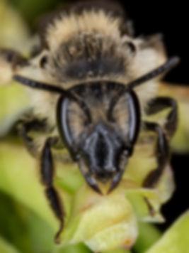 Bradley's Andrena - Andrena milwaukeensis - (c) 2016 Paula Sharp & Ross Eatman