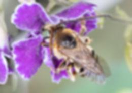 WJPEG-Florilegnus-condignus-M-NBC-#261-D