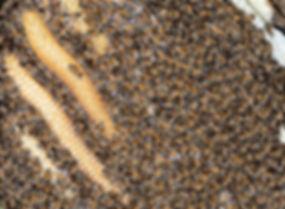 Wild honey bee nest - (c) Copyright 2018 Paula sharp