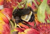 WJPEG-Bumblebee-Amercan-male-FLA-#9-Gail