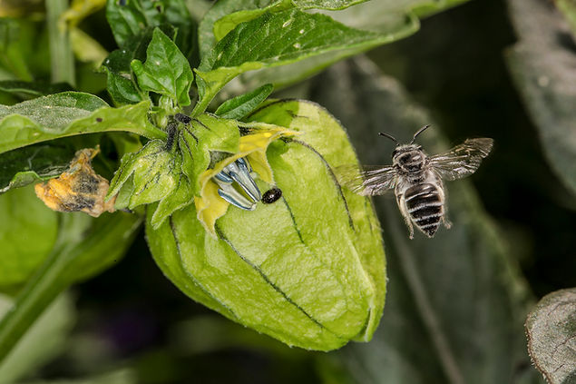 Broad-footed Cellophane Bee - Colletes latitarsus - on tomatillo - (c) Copyright 2016 Sharp-Eatman Photo