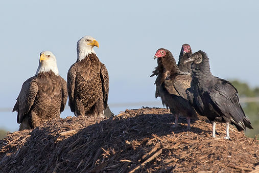 Black and turkey vultures with bald eagles - (c) 2018 Sharp-Eatman Nature Photo