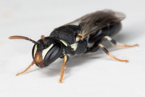 Hylaeus masked bee - (c) Copyright 2019 Paula Sharp