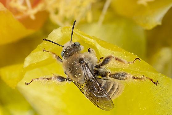 Diadasia rinconis chimney bee - (c) 2019 Paula Sharp