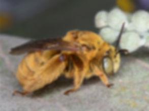 Svastra sabinensis, Svastra, Svastra long-horned bee, Texas bees