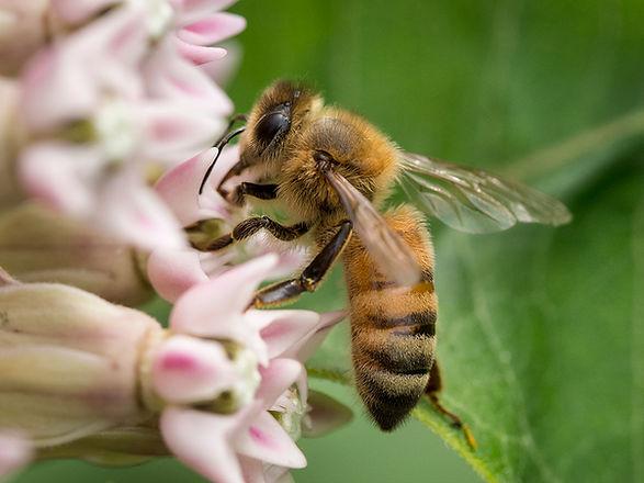 European Honey Bee - Apis Mellifera - (c) Copyright 2015 Sharp-Eatman Nature Guides