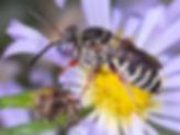 Epeolus pusilus - Dwarf Epeolus cuckoo bee - (c) Copyright 2018 Paula Sharp