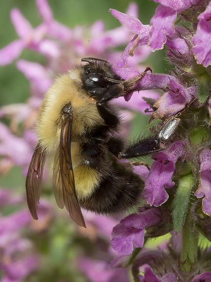 Half-black Bumble Bee - Bombus vagans - (c) Copyright 2016 Sharp-Eatman Photo