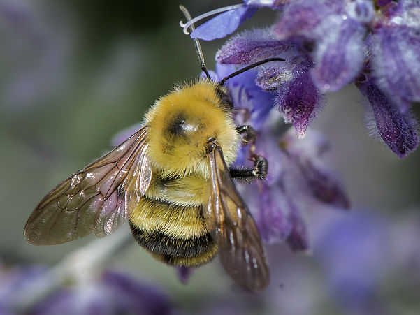 Two-Spotted Bumble Bee - Bombus bimaculatus - (c) Copyright 2016 Sharp-Eatman photo