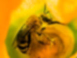 Squash Bee - Peponapis pruinosa - (c) Copyright 2016
