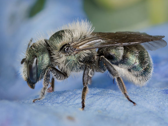 Osmia (Malnosmia) mason bee - (c) 2017 Paula Sharp