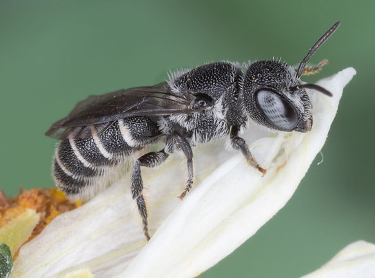 Heriadies variolosa resin bee - (c) Copyright 2019 Paula Sharp