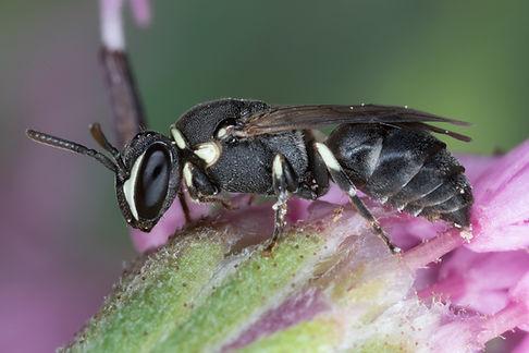 WJPEG-Hylaeus-affinis-F-NBC-#393-Palfoxi