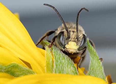 A male Melissoptila otomita long-horned bee; (c) Copyrght 2018 Paula Sharp