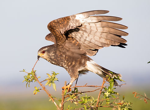 A female snail kite  - (c) Copyright 2018 Paula Sharp.  Registered copyright.  All rights reserved.
