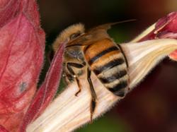WJPEG-Honey-Bee-Amber-abdomen-CROP-FLA-#