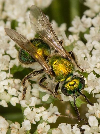 Augochlorella Aurata green sweat bee (c) Copyright 2015 Sharp-Eatman Photo