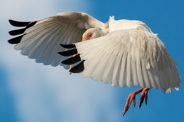 White Ibis in Flight - Copyright (c) 2018 Paula Sharp.