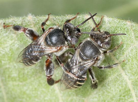 Mating Ancyloscelis apiformis chimney bees - (c) Copyright 2018 Paula Sharp