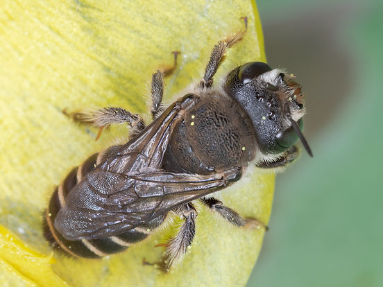 Lithurgopsis littoralis wood-borer bee - (c) Copyright 2019 Paula Sharp