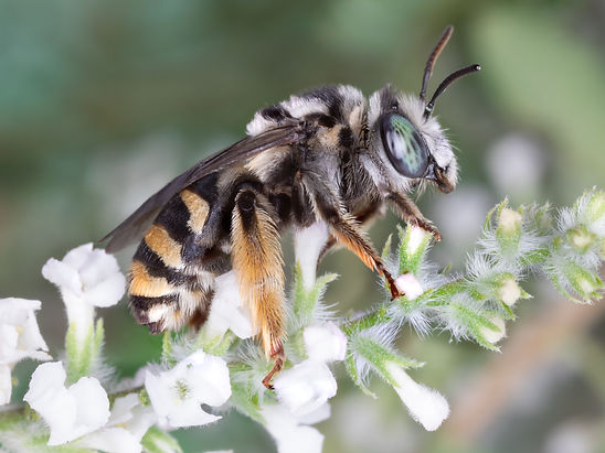 Florilegus condignus long-horned bee - (c) Copyright 2019 Paula Sharp