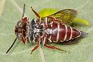 WJPEG-Coelioxys-Cuckoo-Leafcutter-female