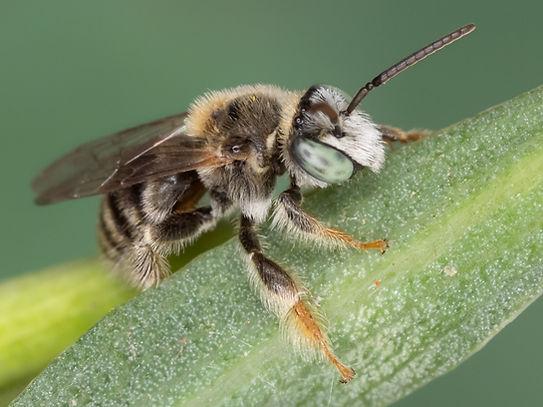 Exomalopsis similis bee - (c) Copyright 2019 Paula Sharp