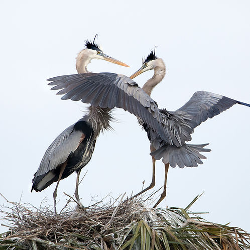 Great Blue Heron Pair on Nest - (c) 2018 Paula Sharp