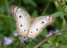WJPEG-Butterfly-white-peacock-NBC-#86-Cr