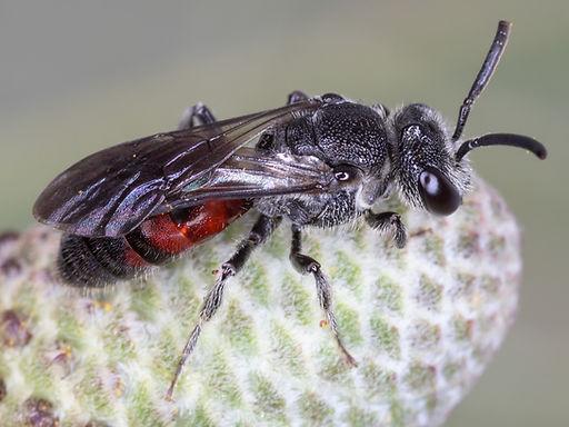 Sphecodes heraclei cuckoo bee - (c) Copyright 2019 Paula Sharp