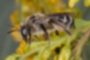 Female Andrena placata - (c) Copyright 2016 Sharp-Eatman Photo