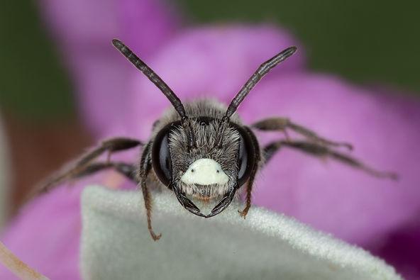 WJPEG-Andrena-M-NBC-#396-Cenizo-Falcon-P