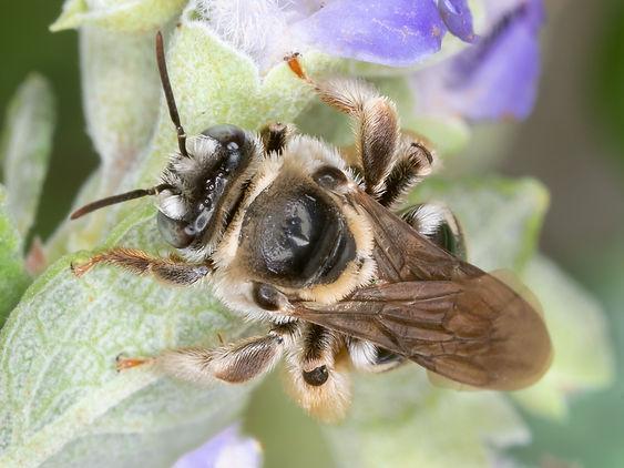 Exomalopsis birkmanni bee - (c) Copyright 2019 Paula Sharp
