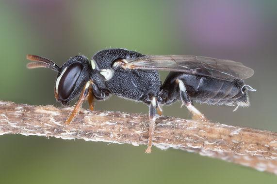 Hylaeus panamensis masked bee - Copyright 2019 Paula Sharp