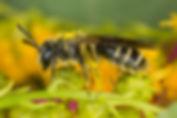 Cloudy-Winged Mining Bee - Andrena nubecula - (c) Copyright 2016 Sharp-Eatman Photo