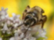 Andrena Mining Bee facial foveae (c) Copyright 2015 Sharp-Eatman Photo