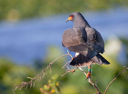 Male snail kite with leg tag -  (c) Copyright 2018 Paula Sharp.  Registered copyright.  All rights reserved.