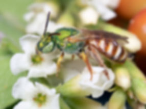 WJPEG-Agapostemon-honey-tailed-female-5-