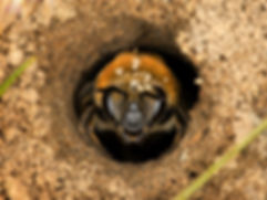WJPEG-Colletes-thoracicus-#2-in-hole-1A-