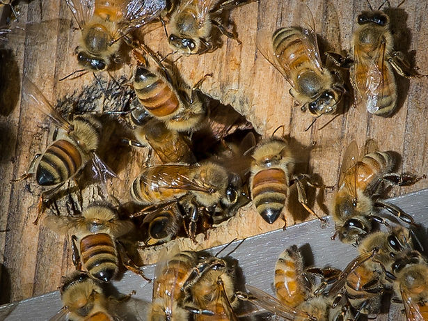 Apis mellifera - European honey bees entering a hive - (c) Copyright 2015 Sharp-Eatman Photo - Wild Bee Guide