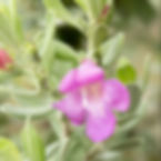 Texas sage (Leucophyllus frutescens)