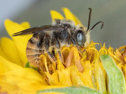 Melissoptila otomita bee - (c) Copyrigt 2018 Paula Sharp
