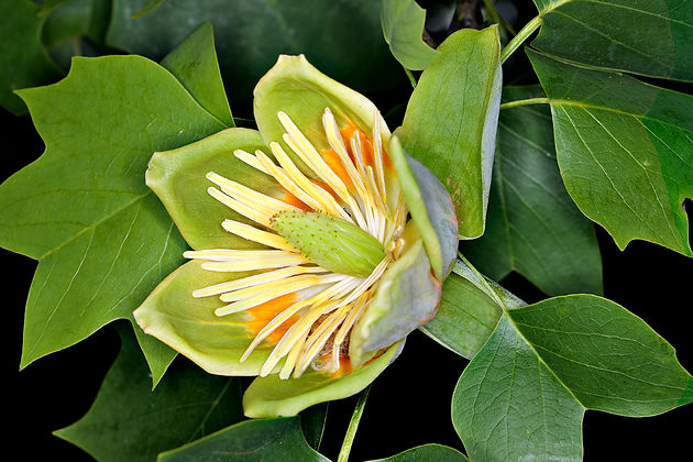 Yellow poplar (tulip tree) flower - (c) Copyright 2017 Paula Sharp