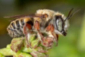 Toluca Leafcutter; Megachile cf. toluca; (c) Copyright 2018 Paua Sharp. Registered copyright.