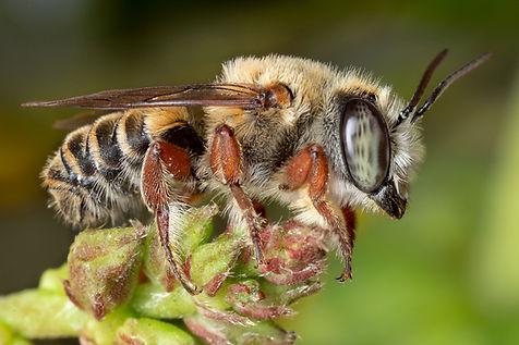 Toluca leafcutter - Megachile cf toluca - (c) copyright 2018 Paula Sharp