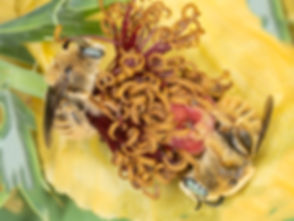 Diadasia rinconis bees sleeping in prickly poppy - (c) Copyright 2019 Paula Sharp