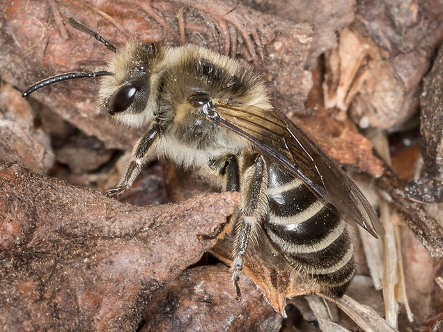Unequal Cellophane Bee - Colletes inaequalis - (c) Copyright 2015 Sharp-Eatman Photo
