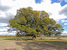 Balinski_Tree.png