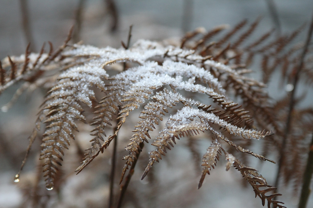 Frosted Ferns